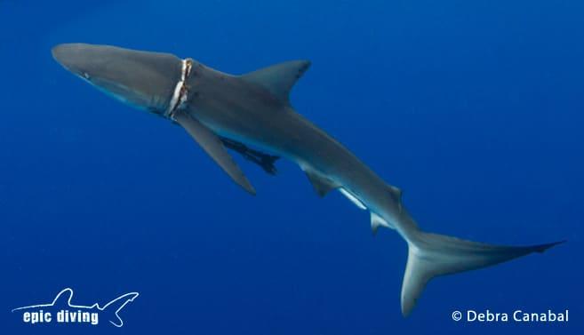 epic diving dusky shark rescue