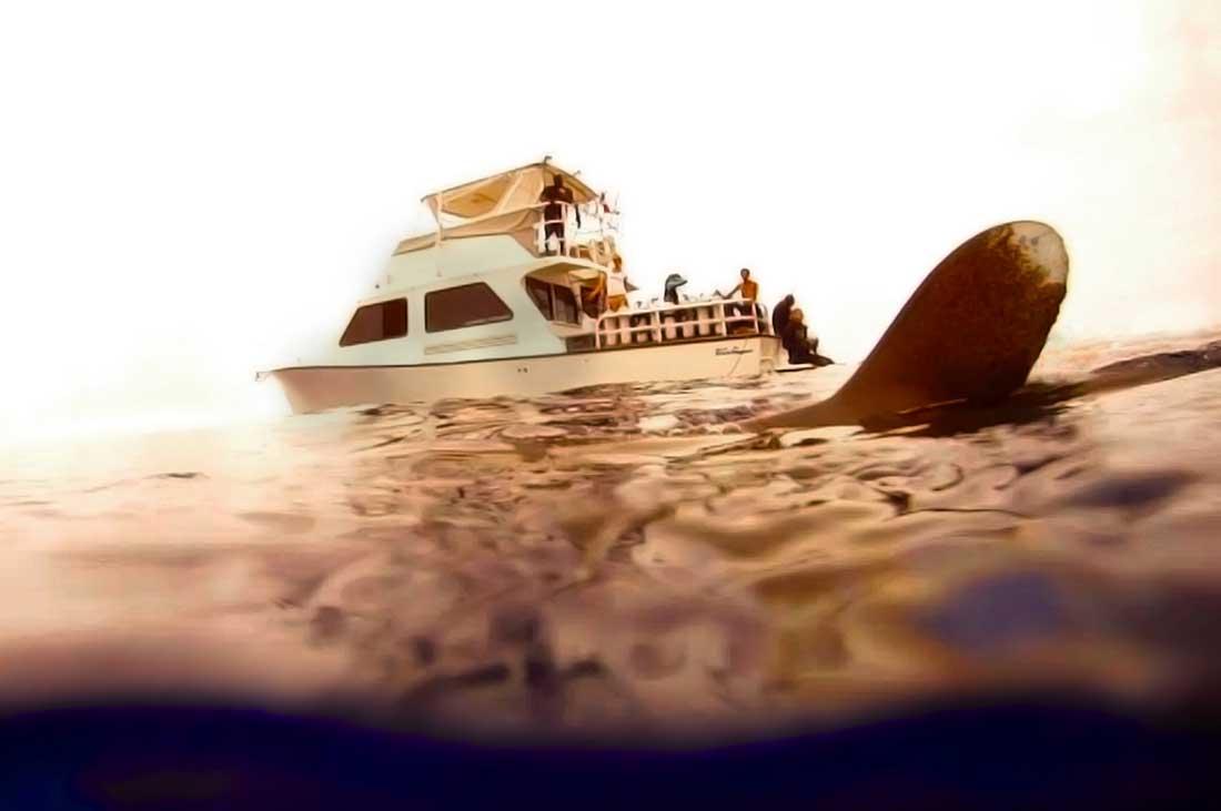 oceanic whitetip shark diving thresher