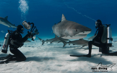tiger beach brian skerry tiger shark