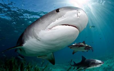 tiger shark at tiger beach daniel botelhol
