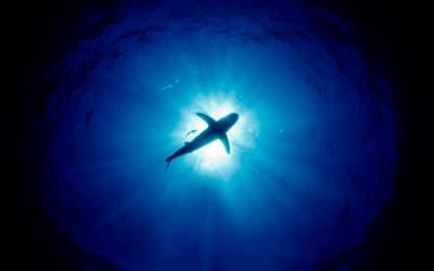 oceanic whitetip shark diving silouhette