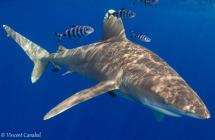 Oceanic Whitetip Shark cat island
