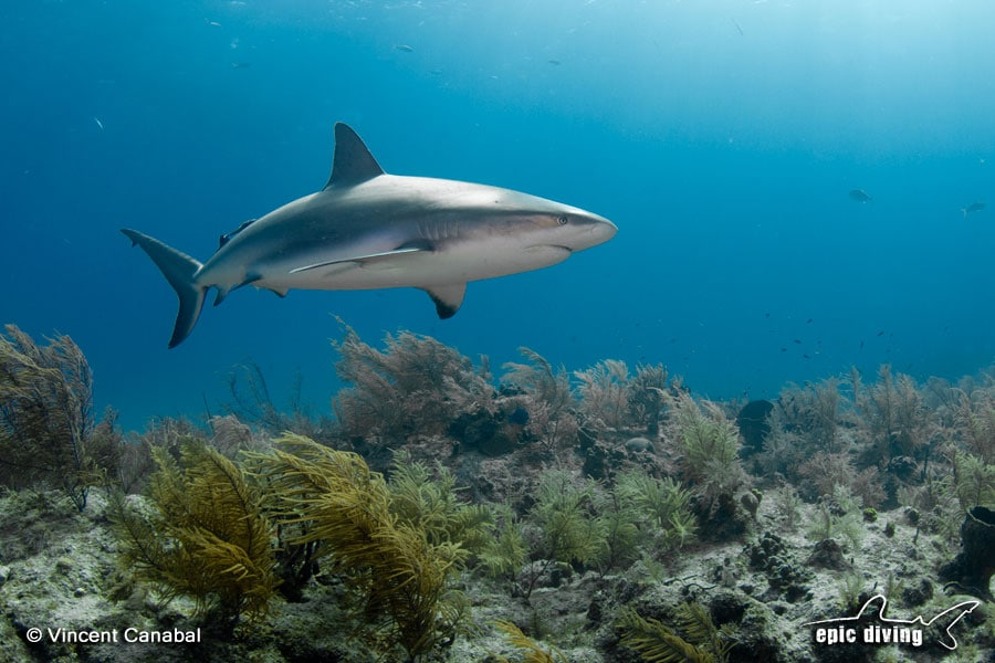 reef shark diving in the Bahamas