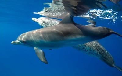 swimming-with-dolphin-bimini-bahamas