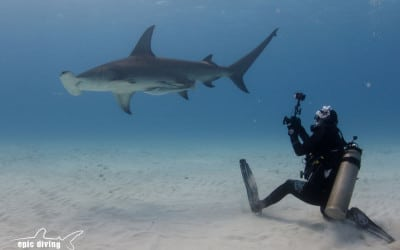 diver with great hammerhead shark in bimini