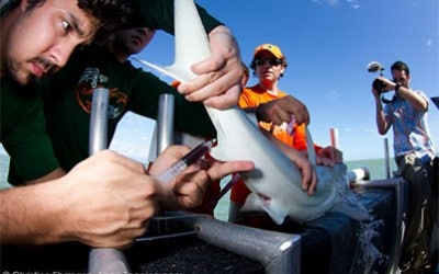shark research tagging