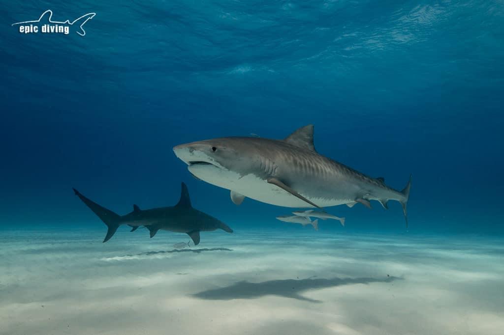 tiger beach great hammerhead shark
