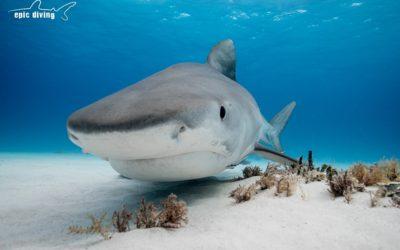 bahamas tiger beach shark diving