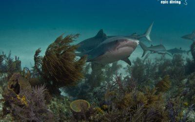 tiger beach shark reef