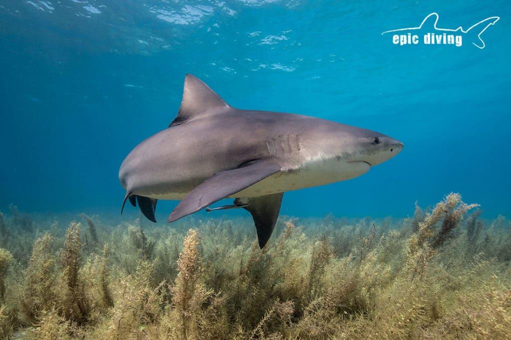 bull shark at Tiger Beach
