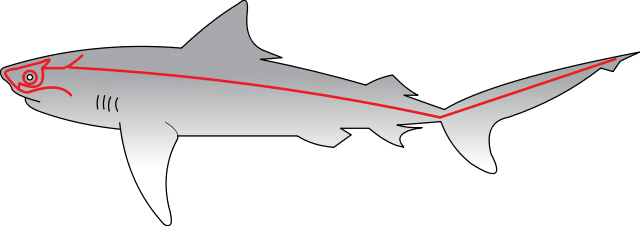 shark lateral line