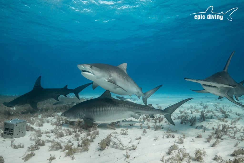 tiger beach great hammerhead shark diving