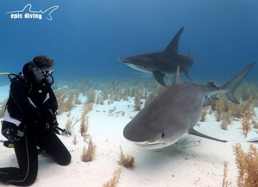diving at tiger beach bahamas