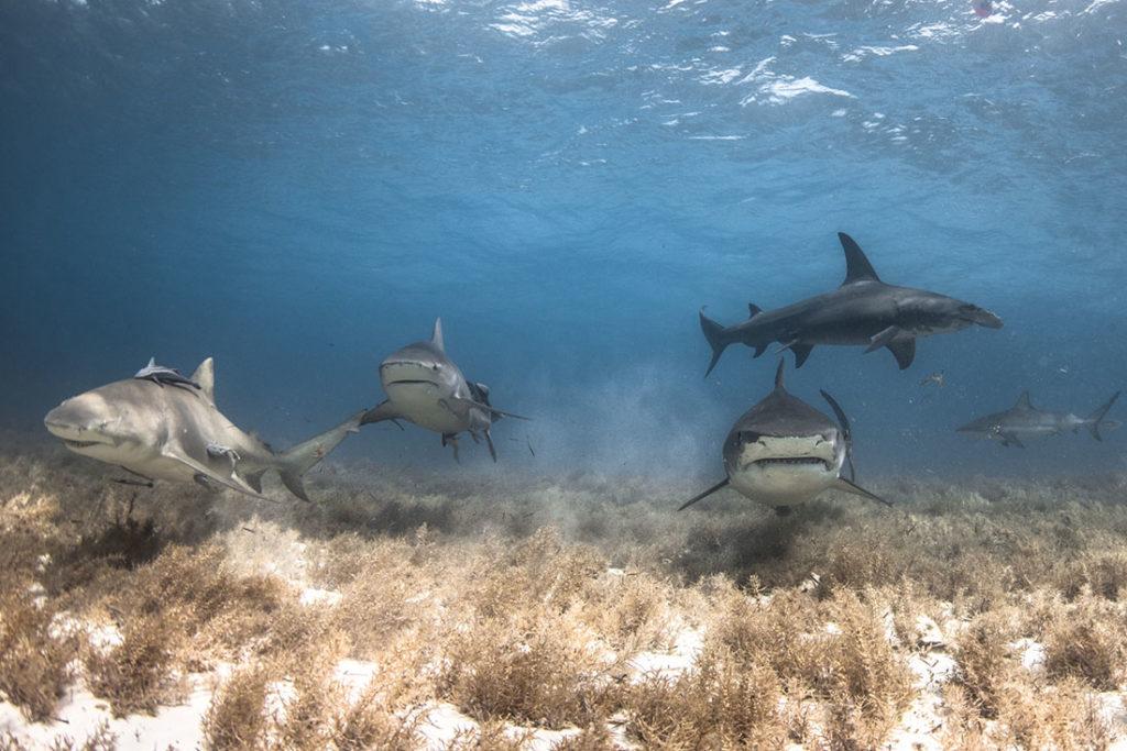 lemon bull tiger hammerhead reef shark bahamas