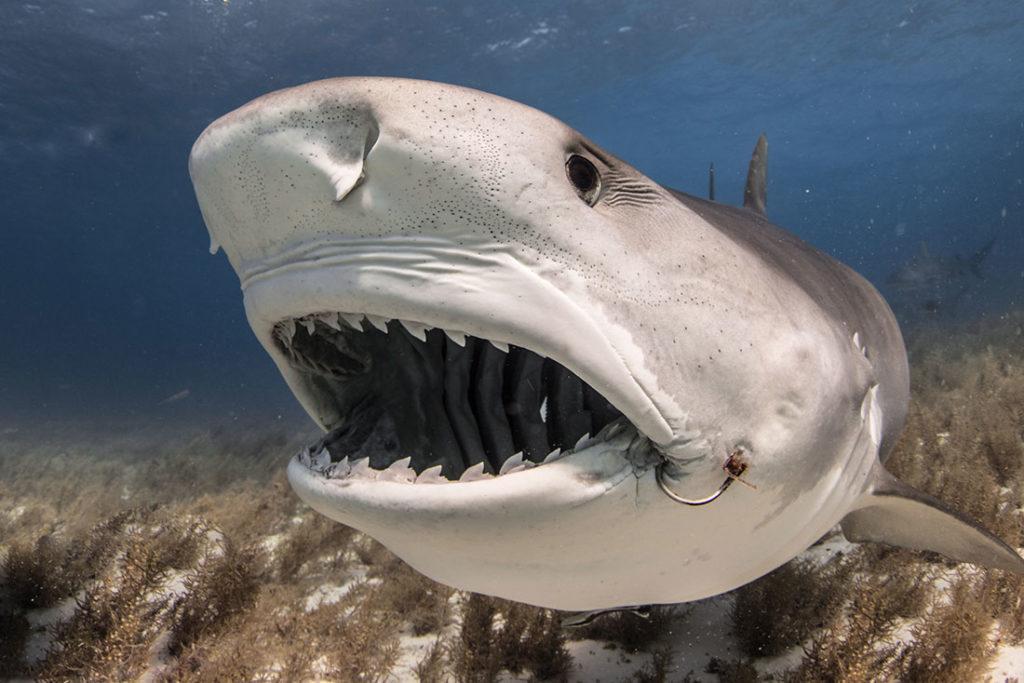 tiger shark teeth tiger beach bahamas