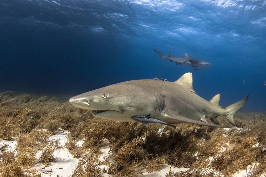 lemon shark scuba diving bahamas