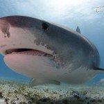 tiger shark at tiger beach bahamas