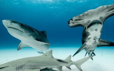 tiger shark and great hammerhead tiger beach bahamas