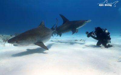 tiger shark great hammerhead bahamas
